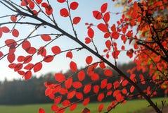 Jesieni drzewo na tle niebieskie niebo Obrazy Stock