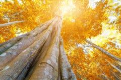 Jesieni drzewo w lasowym odgórnym widoku spod spodu Zdjęcie Royalty Free
