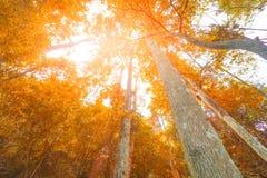 Jesieni drzewo w lasowym odgórnym widoku spod spodu Zdjęcie Stock