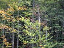 Jesieni drzewo w lesie Fotografia Royalty Free
