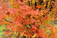 Jesieni drzewo z czerwienią, pomarańcze i kolorem żółtym, opuszcza w jesieni Zdjęcia Royalty Free