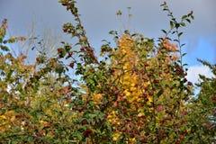Jesieni drzewo z czerwonymi owoc i chmurnym niebem Fotografia Royalty Free