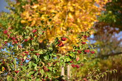 Jesieni drzewo z czerwonymi owoc na słonecznym dniu Obrazy Royalty Free