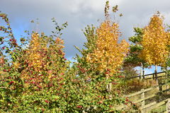 Jesieni drzewo z czerwonymi owoc na słonecznym dniu Obrazy Stock