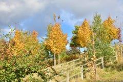 Jesieni drzewo z czerwonymi owoc na słonecznym dniu Obraz Stock