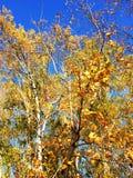Jesieni drzewo z liśćmi i niebem Fotografia Royalty Free