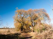 Jesieni duzi drzewa ogołacają gałąź liści niebieskiego nieba żółtego pomarańczowego lan Zdjęcia Stock