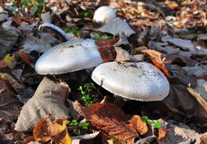 Jesieni dzikie pieczarki Zdjęcia Royalty Free
