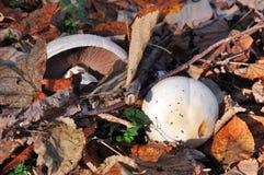 Jesieni dzikie pieczarki Obrazy Royalty Free