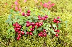 Jesieni foxberry Obraz Royalty Free