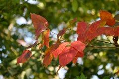 Jesieni gałąź Obraz Stock