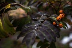 Jesieni gałąź halny popiół z kroplą Zdjęcie Stock