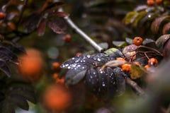 Jesieni gałąź halny popiół z kroplą Obrazy Royalty Free