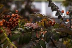 Jesieni gałąź halny popiół z kroplą Zdjęcia Royalty Free