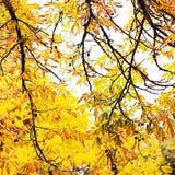 jesieni gałąź kasztan Zdjęcia Royalty Free