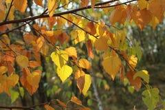 Jesieni gałąź z kolorem żółtym i pomarańcze opuszcza zbliżenie Obraz Stock