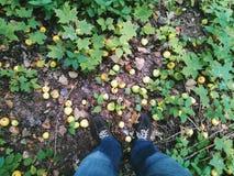 jesieni jabłka pod nogami kłaść na trawie Zdjęcia Stock