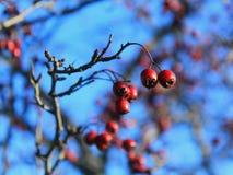 Jesieni jagody Obraz Royalty Free