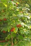 Jesieni jagody Obrazy Royalty Free