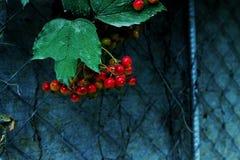 Jesieni jagody Zdjęcia Stock
