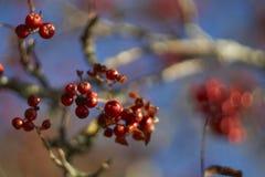 Jesieni jagody Zdjęcie Royalty Free