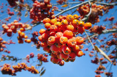 Jesieni jagody na tle niebieskie niebo Obrazy Royalty Free