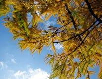 Jesieni jodły gałąź Zdjęcia Royalty Free