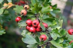 Jesieni, kasztanu i rowan jagody, obrazy royalty free