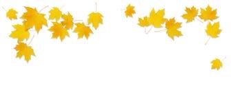 Jesieni klonowa gałązka z żółtymi liśćmi Obrazy Stock