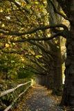 jesienią klonowi drzewa Obrazy Royalty Free