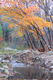 Jesieni klonowi drzewa rzeką Obraz Royalty Free