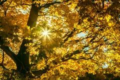 Jesieni klonowi drzewa z kolorów żółtych liśćmi i jaskrawym słońcem Obrazy Royalty Free