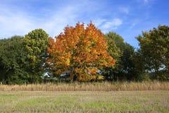 Jesieni klonowy drzewo Zdjęcia Royalty Free