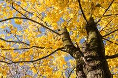 Jesieni Klonowy drzewo Zdjęcie Stock