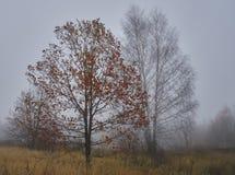 Jesieni klonowy drzewo z czerwienią opuszcza na tle szara brzoza fotografia stock