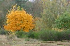 Jesieni kolor żółty drzewo Zdjęcie Stock