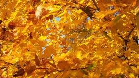 Jesieni kolor żółty liście Obrazy Stock