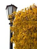 Jesieni krajobrazowi drzewa z żółtymi liśćmi Obraz Royalty Free