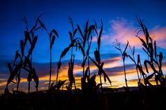 Jesieni kukurudzy badyle przy wschodem słońca obraz stock