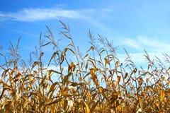jesienią kukurydza Zdjęcia Royalty Free