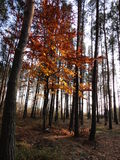 jesienią 2 las Fotografia Royalty Free
