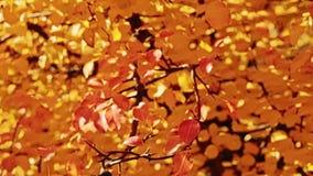 Jesieni melancholicznych złotych drzew spada liście zbiory