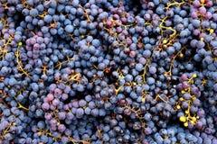 Jesieni żniwa winogrono Zdjęcie Royalty Free