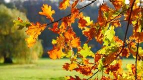 Jesieni obfitolistny drzewo w naturze zbiory wideo