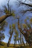 Jesieni ogromni drzewa rozciągają out jałowych bagażniki i gałąź w niebo Zdjęcia Stock