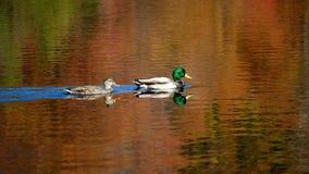 Jesieni pływanie Obraz Royalty Free