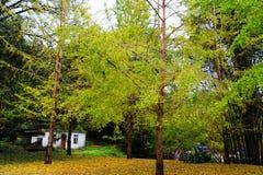 Jesieni piękno Ginkgo Biloba w Nanxing mieście Fotografia Royalty Free