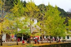 Jesieni piękno Ginkgo Biloba w Nanxing mieście Zdjęcia Stock