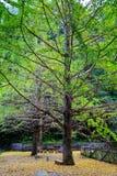 Jesieni piękno Ginkgo Biloba w Nanxing mieście Obraz Royalty Free