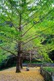 Jesieni piękno Ginkgo Biloba w Nanxing mieście Zdjęcie Royalty Free